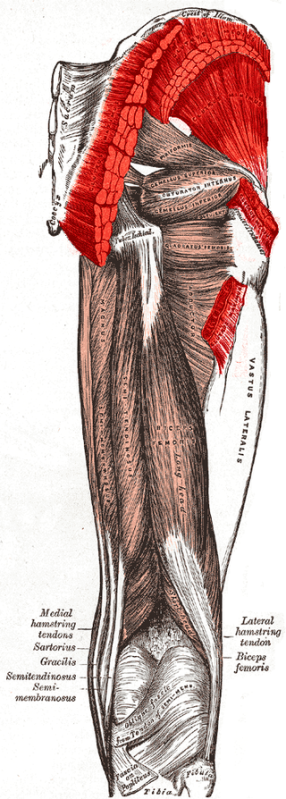 320px-gluteus_muscles